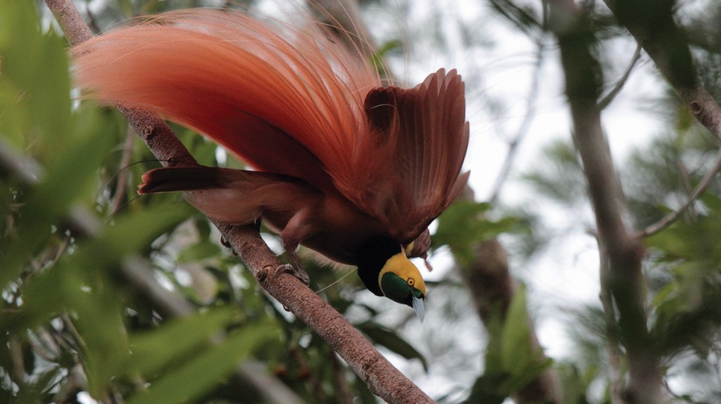 Bird-Of-Paradise-Papua-New-Guinea