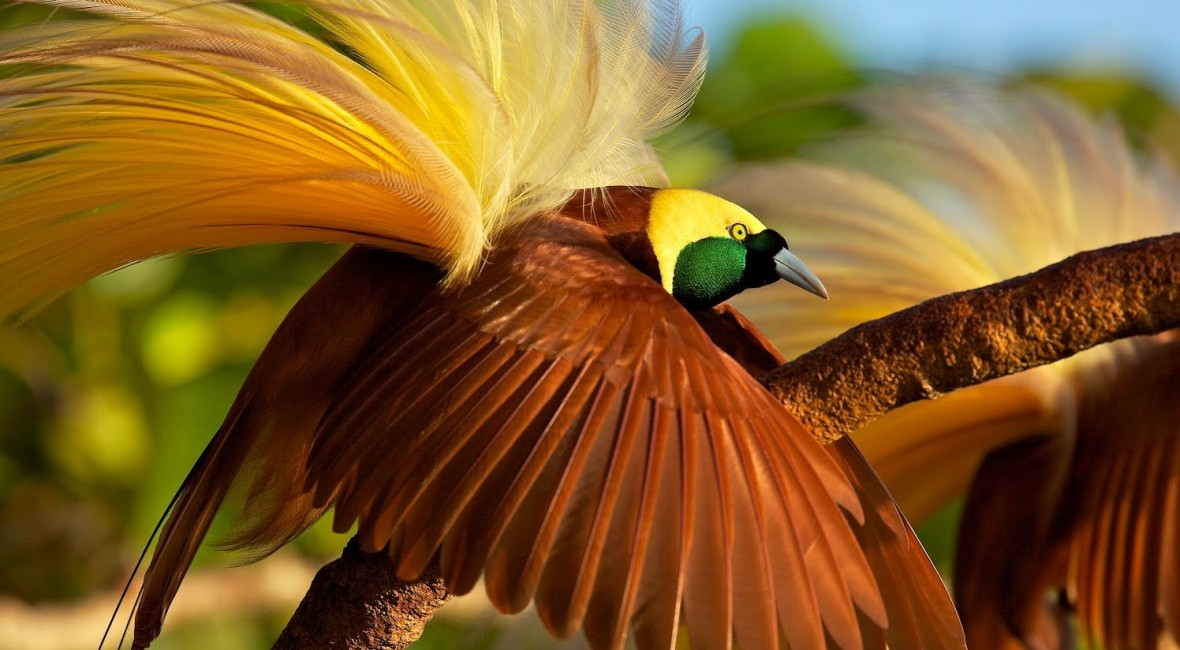 gudmundur-fridriksson-blog-papua-new-guinea-greater-bird-of-paradise