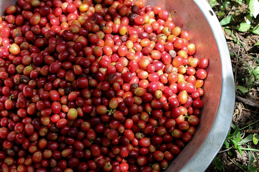 gudmundur-fridriksson-gummi-blog-papua-new-guinea-produce-coffee